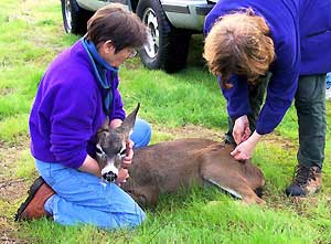 Releasing the Fawns
