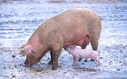 250px-sow_with_piglet.jpg