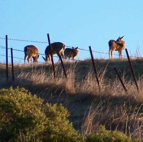 Four blacktail deer graze uphill from my cabin in the early light of the day after Christmas.