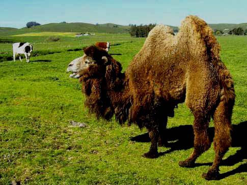 camel6