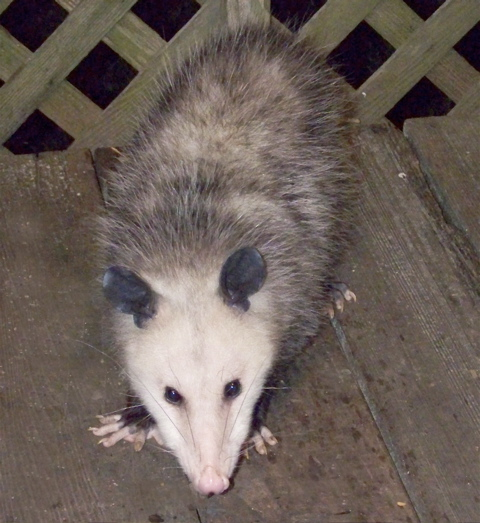 curious-possum2