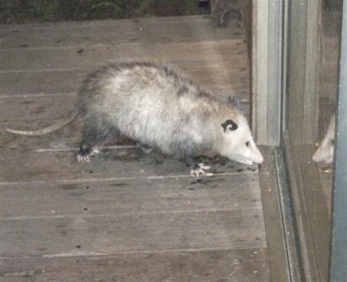 possum-reflection