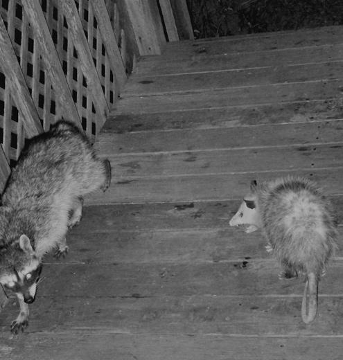possum-snarls