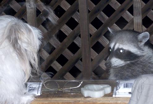 seba-raccoon