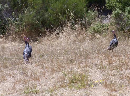 turkeys1