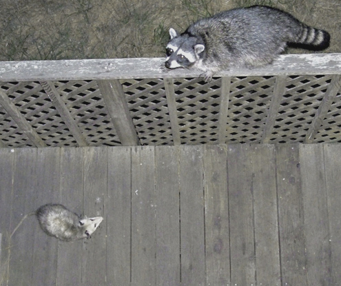 possum-coon-on-rail
