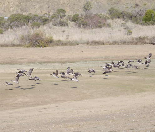 geese-take-flight