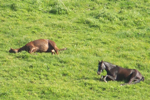 7 7K horses-sleeping1-150  K Horses