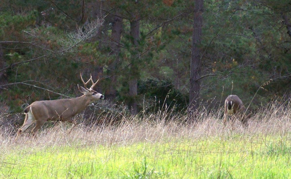 buck-stalking-doe