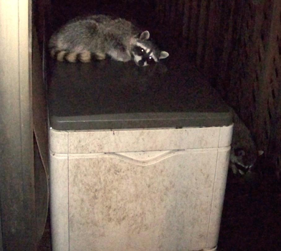 raccoon-snoozing
